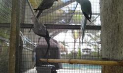 I have 2 grey female indian ringneck females for sale, both of breeding age. Asking $150 each David 786-277-0234