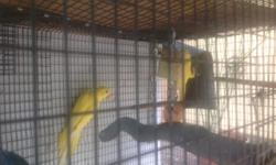 BEAUTIFUL LUTINO INDIAN RINGNECK 5 MONTHS OLD. PLEASE PHONE CALL ONLY 305-300-2635