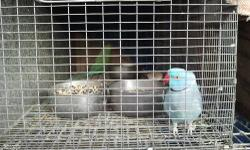 Have a proven pair of indian ringneck.male blue, female torquiose.not tame.rough feathers but growing back.