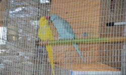 Proven pair of Indian Ringneck, male is blue from pied family and female is lutino. They just finished their hatch and getting ready again this summer. Both 3 years old.