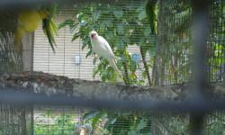 I have a mature, 3 year old pair of Indian Ringnecks for sale. The male is albino, the female is lutino split to blue. They will produce albino and lutino solit blue offspring, males and females of both. They are priced at $500. Mature and ready to
