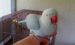 I have two (2) Indian RingNeck Parrot's for sale. Both are females and approximately two (2) years old. RingNecks are very unique and rare. They are intelligent and DO make great pets. They learn concepts quickly and love to show off. Along with being
