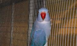 I have a beautyful Violet male Indian Ringneck cleartail for sale. Call Bob at 727-237-9022 for more info.
