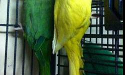 Indian Ringnecks $250.00 . Located in Northeast PA. Will ship at buyers expense. He is 6 years old. Pictures available upon request. To see more pictures please visit: https://www.facebook.com/PoconoAna?ref=hl