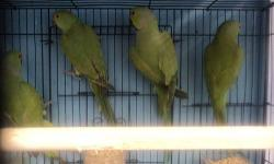 Looking for young Male Grey, yellow and white Indian Ringnecks. Have One young(1yr) yellow female willing to trade if you have males. Also have 1yr old Golden Rosella willing to trade for the above IRNs Thank you