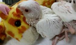 We only have a few left so hurry in and pick out your baby. Greens, albinos and lutinos available. AJ's Feathered Friends Pet Shop 804 N La Fox st South Elgin, IL 60177 847 695 5624