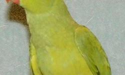 i am selling two females indian ringnecks or trade 1 female for male.my females r ready to breed for more info. please contact me.916.893.3647. tk
