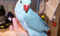 Indian Ringnecks parrots for sale in Kingsville Texas