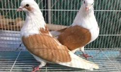 Iranian pigeons different colors and marking very rare colors. 818-335-3025 prices start at $25ea. I am willing to work with you so that you are happy with the quality pigeons you get. www.rooftoppigeons.com