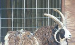 I have a small herd of Jacob Sheep, 7 total for $660. The ram is quite the trophy! Call for details, 530-200-5985