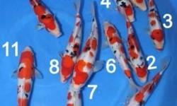 new shippment jumbo tosai highclass show qt Available Reserve momotaro ,ooyama,hoshikin there koi very top breed of south japan higoshima ... also we have 1700 tosai -50 jumbo tosai highclass coming soon this year we have over 15 breeder of tosai and