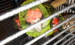 Jardin parrot 7 years old very sweet needs more attention than I can give good whisteler,they are rare also called Amazon of Africa,has newer cage and toys,to a good home only $375 ,thanks.