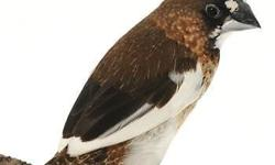 Java finch for sale we have them young, and adults. No more grey only white.