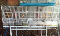 I am selling two beautiful Java Sparrow Finches with a long cage that can be divided into 4 cages. The cage comes with a bird nest, 8 plastic perches, and 8 dish bowls.