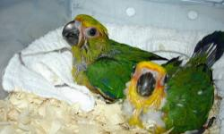 Two Jenday Conures 5 weeks old on 3 Feedings a day. $125 each. Three Sun Conures 2 weeks old still in nest. Will be ready to sell in one week for $125 each Two Jenday Conure Babies 5 months old. Very tame and playful. Finger trained and love to kiss and