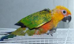 Haus of Feathers has 2 Jenday Conures (similar to Sun Conures). They are beautiful babies and will be gorgeous adults. They are just over six weeks and I expect weaning by September 1. Visit www.HausofFeathers.com or call:210-679-0874