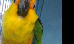 We have Sun Conure for $250 each...hand tame, 3 months old..If interested call 619-942-1674 or visit us: Arrieros Pet Shop 2550 Imperial Ave San Diego, Ca 92102