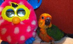 We have some beautiful Jenday Conures that we are taking deposits on now. $350 each baby with a $100 deposit to hold one. When baby is weaned the remaining $250 will need to be paid. Please contact Ana's parrots or myself with any questions. Babies won't