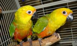 Beautiful, sweet, playful and affectionate. Weaned and ready for a home. $175 each or $300 for both. Please call Jean if interested. OakHaven Aviary Breeding conures for 20+ years