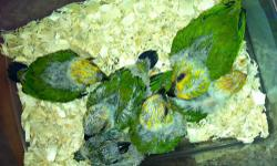 I have 6 jenday babies, 5 weeks, 3 feeding, I'm asking $225 a piece, or if you buy all then $200 a piece. Call me @ 5125742598