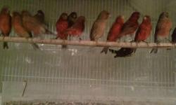 canaries red factor yelow white bronze males & females youngs and ready for breeding & diamon dove white dove java finches zebra finches gray singer mule red sisken mule any question call jjj jaime