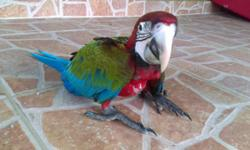 Sold (1) Jubilee macaw. ONE jubilee macaw left !! Super tamed handled daily. Gorgeous baby $2000.. .2 months old & couple days. Dna pending.. Its a hybrid macaw between my male harlequin macaw and my female greenwinged macaw. My babies are not handraised