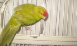 We have two Kakrikis that are about 4 months old now. Sweet birds. Google them or watch them on YouTube. They are about the size of a cockatiel but use feet to eat like a parrot. They love to bath. Very active and curious little birds. Extremelly quiet as