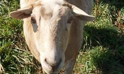 """2 hair sheep ewes (mostly Katahdin, a little St. Croix), born spring 2011 (sisters): """"Vacheti"""": Whiteish with brown, good mother this year to twins, not scared of humans, not the best feet, limps a little on one hind foot. $75--available now """"Hoppity"""":"""