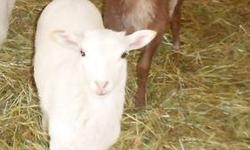 All white, born March 3, 2013. ?LerTan?s? father is a white Katahdin Hair Sheep, and her mother is a mostly brown 7/8 Katahdin, 1/8 St. Croix.