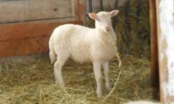2 wethers, born March 3, 2013. 'Treek' is white with brown-tipped ears, and ?Verti? is brown and white. Their father is a white Katahdin Hair Sheep, and their mother is a mostly brown 7/8 Katahdin, 1/8 St. Croix. $50 each