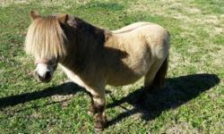"""Mini stallion. Super cute. He's a buckskin. He's proven and produced beautiful small fillys. He has been handled by kids and behaves very well. He acts like a gelding. He's about 28"""". 8 yrs old. He's registerable. He's easy to handle. Good with all kinds"""