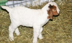 Several South African Boer Goats for sale. Born Dec. 25, 2014 - March 26, 2015. White kids are $175. ea. There are two kids that are Brown they are $250. ea. We have only had males born so far this year. We have one more doe to give birth in about 2 to 3