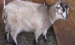1 year old Kiko doe $50.00 3 year old Boer/Kiko Doe who has been with a Kiko buck for possible babies in Aug. $200