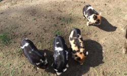 We had a litter of purebred KuneKune piglets born 3/5/15. There are 3 males and 1 female available. All three males are double wattled. The female doesn't have wattles. She is ginger and black. We are asking $500 each on piglets without papers or $850 if