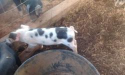 quality breeders of Registered KuneKune pigs