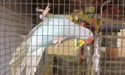 Indian Ringneck Lacewing female, one year old perfect health and condition, please call if you are interesting