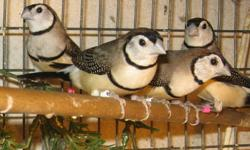 Male and Female Gouldians available. Red headed males and some Black headed females are ready.