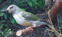 I have a Split to Blue hatched on 1/20/13. He is halfway through his first molt and I will post updated pics as he changes. He is housed in a glass indoor aviary and fed only the highest quality of foods from Frisky Finches. No shipping of birds-local p/u