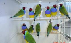 Beautiful Lady Gouldians Finches from breeder, hobbyist. Prices from $40. If only females $10 more. Must see. Call 305-431-2386. Thank you. NO SHIPPING.