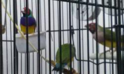 Rehoming 6 Lady Gouldian Finches with large flight cage and supplies. There are 3 males and 3 females. All are between 2 and 4 years of age. $500 takes all. Also have canaries: singers $75, hens $50. Various cages available also. Bettendorf, IA near 53rd