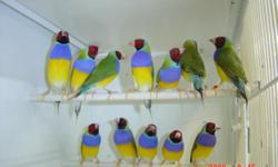Beautiful Lady Gouldian Finches from breeder, hobbyist. Prices range from $50 up. If females only, $10 more. Most color combinations available including split color mutations, also blue and yellow. Must See. Call 305-431-2385 No shipping please. Finches