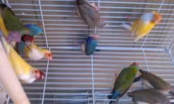 lady gouldians finches ,getting ready to breed .150.0 a pair greens split blues and yellows split silvers great looking we have ONLY 5 PAIRS LEFT ...READY TO BREED . REAL NICE BIRDS ..it is hard to find any these days ...breeding season........WE DO SHIP