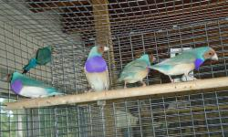 Lady gouldians yellow ..50.00 lady gouldians green ...40.00 lady gouldians blue...80.00 lady gouldians silver ,,,,80.00 cherry finch...75,00 owl ...50.00 owl fawn ...100.00 PLease contact Raul (305)613-6926 us via cell phone or text message. shipping is