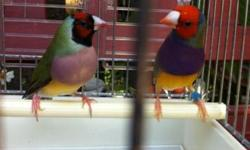 Lady Gouldians $45 . Depends on the color you choose. This ad was posted with the eBay Classifieds mobile app.