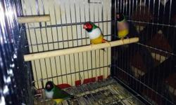 Beautifull lady gouldians for 50 green back,60 yellow back and 80 blue back,also i have a society finches for 8 each....email me or text me at (904)413-3546.....Lindos lady gouldians por 50 espalda verde,60 espalda amarilla y 80 espalda azul,tambien tengo