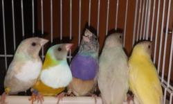 I have 6 Gouldians available young. 2 blue back 125 each 2 pastel blue 125 each 2 yellow one charcoal head 1 orange head $100 each Please call 3478168264 for more info thanks.