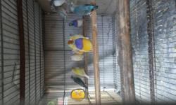 Lady Gouldians offered by license breeder i got all colors available any question pls text or call George thanks. Blues.... Yellows.... Greens... Silvers.... Blues splits to lutinos. Greens splits to lutinos...