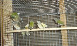Lady gouldians green babe (no color) x 25.00 Lady gouldians yellow babe (no color) x 30.00 Lady gouldians green x 45.00 Lady gouldians yellow x 50.00 Lady gouldians blue babe ( no color ) x 45.00 PLease contact Raul (305)613-6926 us via cell phone or text