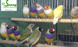 Beautiful lady gouldians available, raised from my own breeding stock. All colors available. Just finished their first moult and ready to breed, in perfect condition. All banded with NFSS bands. I can provide detailed history, date of bird, any hidden