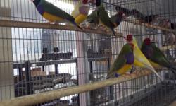WE HAVE OVER 100 MALE AND FEMALE LADY GOULDIANS TO PICK FROM ALL YOUNG BIRDS IN FULL COLOR MOST RAISED IN OUT DOOR AVIARIES HERE IN SAN DIEGO LARGE STRONG HEALTHY BIRDS OUR LOCATION IS 9531 JAMACHA BLVD SPRING VALLEY CA 91977 FOR MORE INFO PLEASE CALL